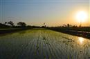 Rice fields at sunset